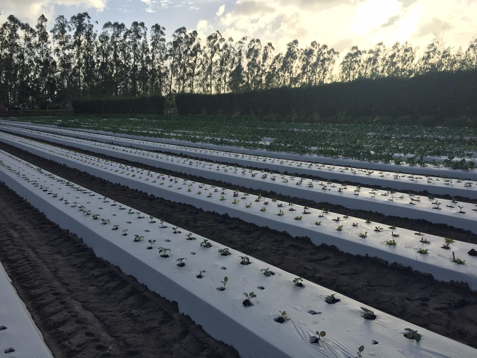 Kai Kai Farms, planting beds